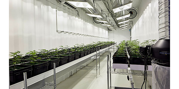 Young cannabis crop
