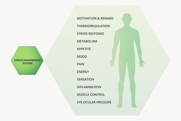 The endocannabinoid system plays a major role in regulating a wide range of physiological and cognitive processes