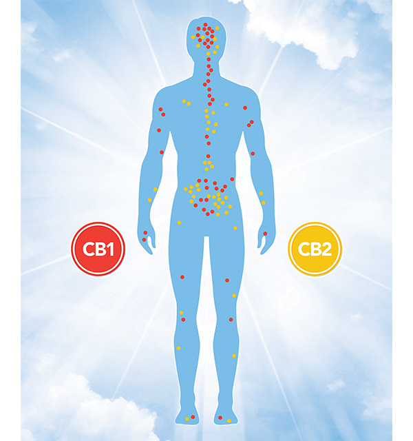CB1 and CB2 receptors are located throughout the human body